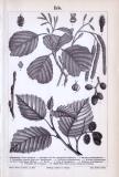 Stich aus dem Jahr 1893 zeigt Blätter, Blüten und Früchte der Erle.