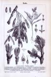 Stich aus dem Jahr 1893 zeigt Blätter, Blüten und Früchte...