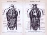 Stich mit 2 medizinischen Abbildungen zu den Eingeweiden des menschlichen Körpers.