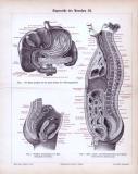 Stich mit 3 medizinischen Abbildungen zu den Eingeweiden des menschlichen Körpers.