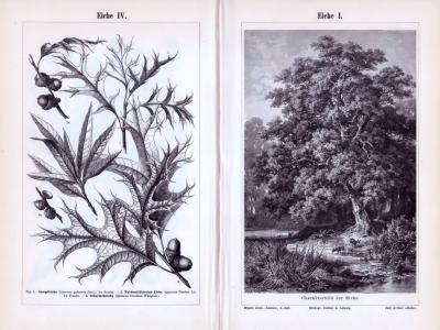 Die Stiche zeigen eine Eiche in landschaftlicher Darstellung sowie Blatt, Blüten- und Fruchtformen. Die Rückseite zeigt Stiche aus 1893 zeigen Blatt, Blüten- und Fruchtformen der Eiche.