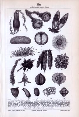 Wissenschftliche Abhandlung zu Form und Schalen der Eier von Fischen und niederen Tieren aus 1893.