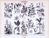 Stich aus dem Jahr 1893 zeigt Genußmittelpflanzen und deren Blüten und Früchte.
