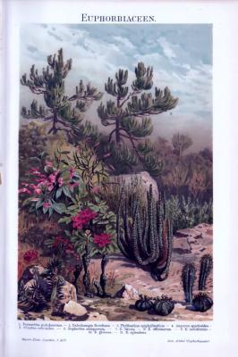 Farbige Chromolithographie aus 1893 zeigt Pflanzen aus der Familie der Euphorbiaceen.