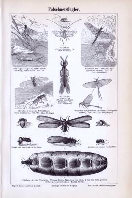 Stich aus dem Jahr 1893 zeigt Insekten aus der Familie der Falschnetzflügler.