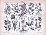 Stich aus 1893 zeigt verschiedene Farbepflanzen und deren...