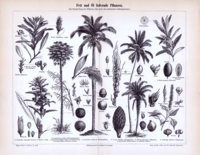 Stich aus 1893 zeigt Fett und Öl liefernde Nutzpflanzen.