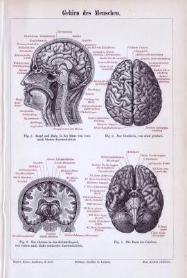 Medizinische Abhandlung aus 1893 zeigt das Gehirn des Menschen in verschiedenen Parspektiven.