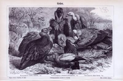 Stich aus 1893 zeigt 3 Geierarten.