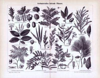 Stich aus 1893 zeigt 11 Pflanzen die nutzwirtschaftliches Gerbmaterial liefern.