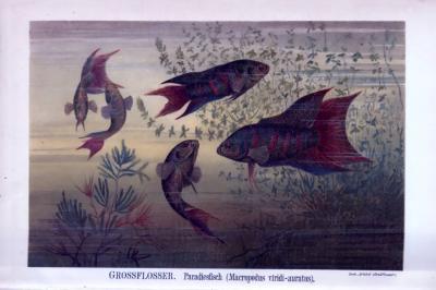 Chromolithographie aus 1893 zeigt Paradiesfische in verschiedenen Perspektiven im natürlichen Lebensraum.