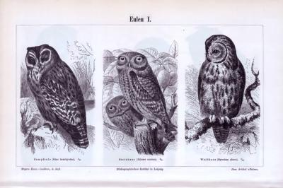 Der Stich aus 1893 zeigt 3 Eulenarten. Die Rückseite zeigt 3 weitere Eulenarten.