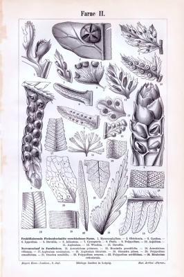 Der Stich aus 1893 zeigt auf Vorder- und Rückseite Darstellungen und Schnitte verschiedener Farnsorten.
