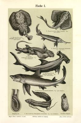 Stiche aus 1893 mit Abbildungen von verschiedenen Fischarten.