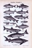 Stiche aus dem Jahr 1893 zeigen Zuchtfische und Apparate...