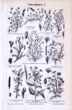 Stiche verschiedener Nutzpflanzen aus 1893.