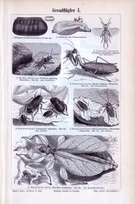 Stich aus 1893 mit Abbildungen von Insekten der Klasse Geradflügler.