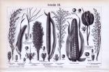 Stich aus 1893 zeigt verschiedene Getreideformen.