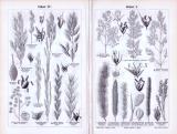Stich aus 1893 zeigt Abbildungen verschiedener Sorten...