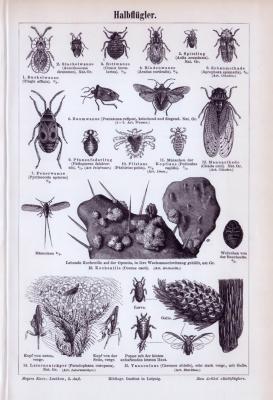Stich aus 1893 zeigt Insekten der Gattung Halbflügler.