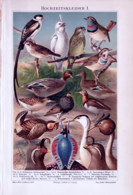 Chromolithographie aus 1893 zeigt verschiedene Vogelarten.