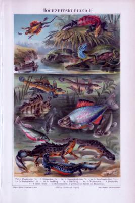 Chromolithographie aus 1893 zeigt verschiedene Fisch- und Amphipienarten.