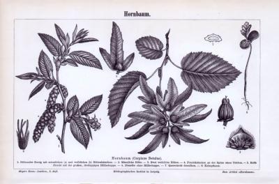 Stich aus 1893 zeigt Blätter, Blüten, Früchte und Samen des Hornbaums.