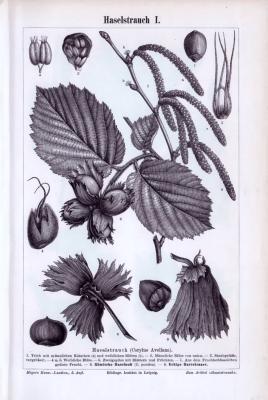 Stich aus 1893 zeigt Blätter, Blüten, Früchte und Samen der Haselnuss.