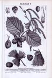 Stich aus 1893 zeigt Blätter, Blüten, Früchte und Samen...