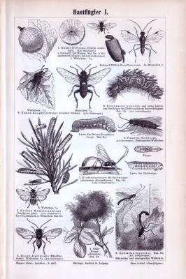 Stich aus 1893 zeigt verschiedene Insekten aus der Gruppe der Hautflügler.