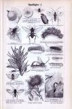 Stich aus 1893 zeigt verschiedene Insekten aus der Gruppe...