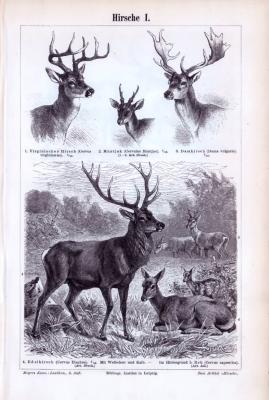 Stich aus 1893 zeigt verschiedene Hirscharten in Detail und natürlicher Umgebung.