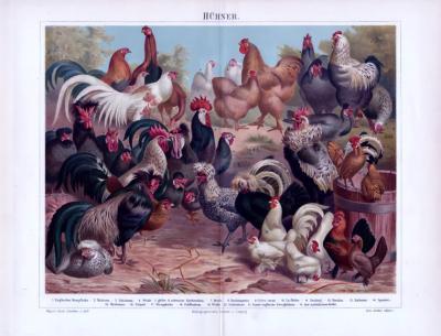 Chromolithographie aus 1893 zeigt 21 verschiedene Hühnerarten.