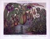 Chromolithographie aus 1893 zeigt 10 insektenfressende Pflanzen verschiedener Arten.
