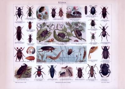 Chromolithographie aus 1893 zeigt verschiedene Käferarten und deren Larven.