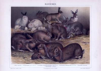 Chromolithographie aus 1893 zeigt 6 verschiedene Kaninchenarten.