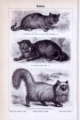 Stich aus 1893 zeigt 3 Katzenarten.