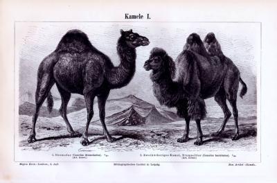 Stich aus 1893 zeigt verschiedene Kamelarten.
