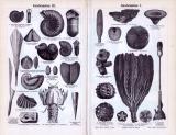 Stich aus 1893 zeigt verschienede Versteinerungen aus dem erdzeitlichen Alter der Juraformation.