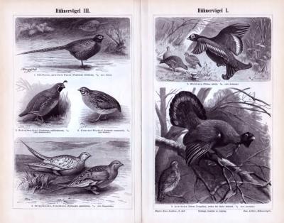 Stich aus 1893 zeigt verschiedene Arten von Hühnervögeln in natürlicher Umgebung.