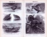 Stich aus 1893 zeigt verschiedene Arten von Hühnervögeln...