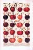Chromolithographie aus 1893 zeigt verschiedene Sorten von Kirschen.