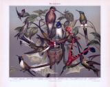 Chromolithographie aus 1893 zeigt verschiedene Arten von Kolibris.