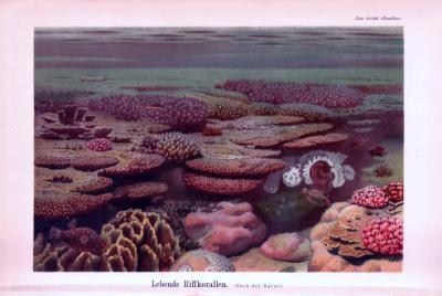 Chromolithographie aus 1893 zeigt verschiedene Arten von Riffkorallen.
