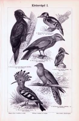 Stich aus 1893 zeigt verschiedene Klettervögel in Naturszenen.