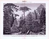 Stich aus 1893 zeigt verschiedene Koniferen und deren...