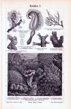 Stich aus 1893 zeigt verschiedene Korallen und deren unterschiedliche Details.