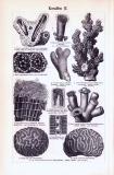 Korallen I. + II. ca. 1893 Original der Zeit