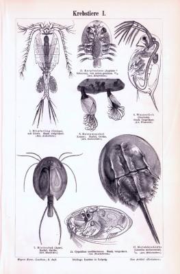 Stich aus 1893 zeigt verschiedene Krebstiere.