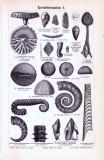 Stich aus 1893 zeigt verschiedene Versteinerungen aus der...